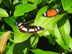 Female Varied Eggfly and a Red Lacewing (top) share the sun