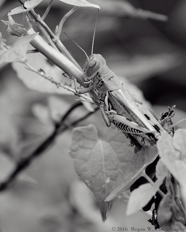 Last photo for tonight.... I need sleep 💤 . #lubbergrasshopper #grasshopper #grasshoppers #insects #insect #insects_of_our_world #insectsofinstagram #naturephotography #naturelovers #blackandwhite #photography #nikon #nikond3300 #nikonphotography #nat