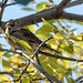 Sparrow among the leaves