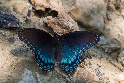 redspottedadmiral butterflies nature limenitisarthemis animals wildlife ebro florida unitedstates us
