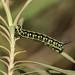 Hyles euphorbiae (Linnaeus, 1758)  - L2 caterpillar