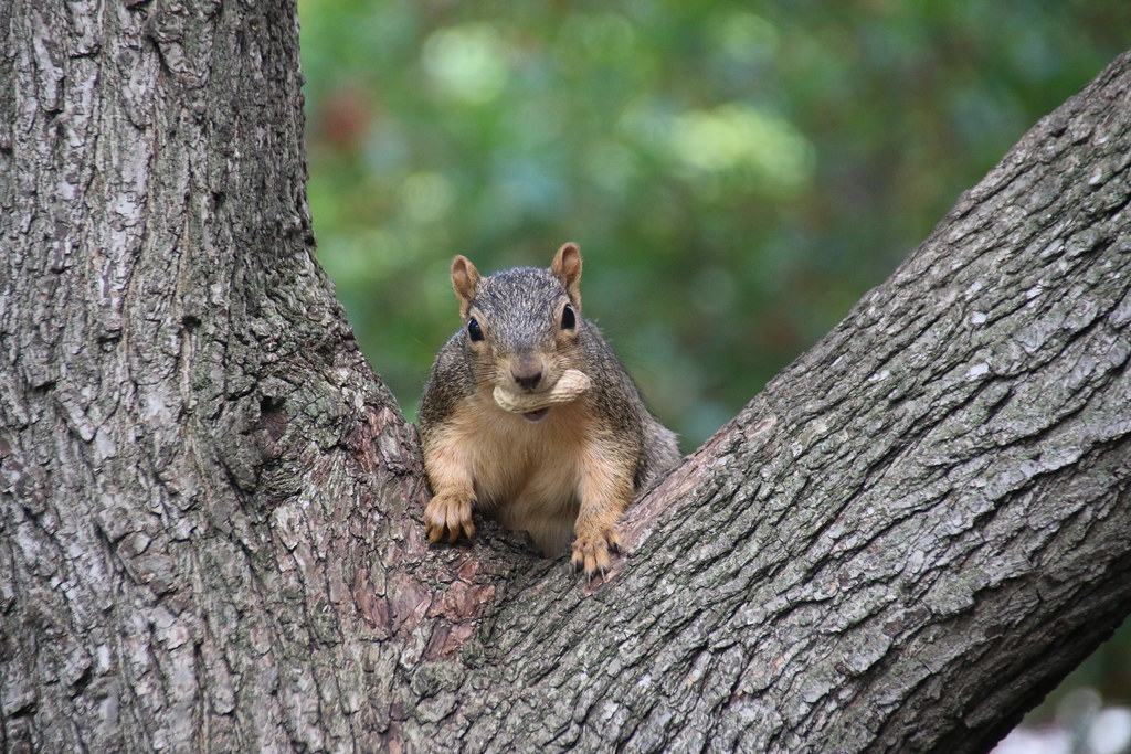122/365/3044 (October 11, 2016) - Squirrels in Ann Arbor at the University of Michigan (October 10th & 11th, 2016)