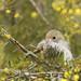 Brown Thornbill (Acanthiza pusilla) by patrickkavanagh