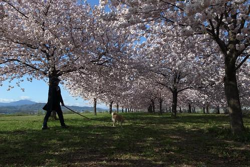 桜の花、舞い上がる道を 2013-番外編