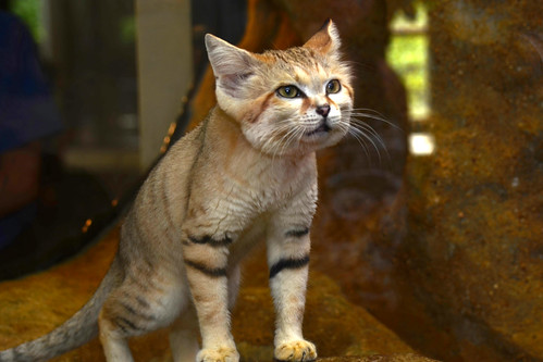 Thor, The Illusive Sand Cat *Need to read the mannual on using my Speedlite*