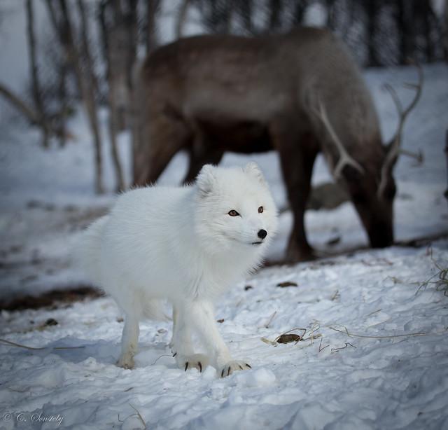 Norwegian animals