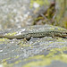 Common Wall Lizard (Tom Mills)