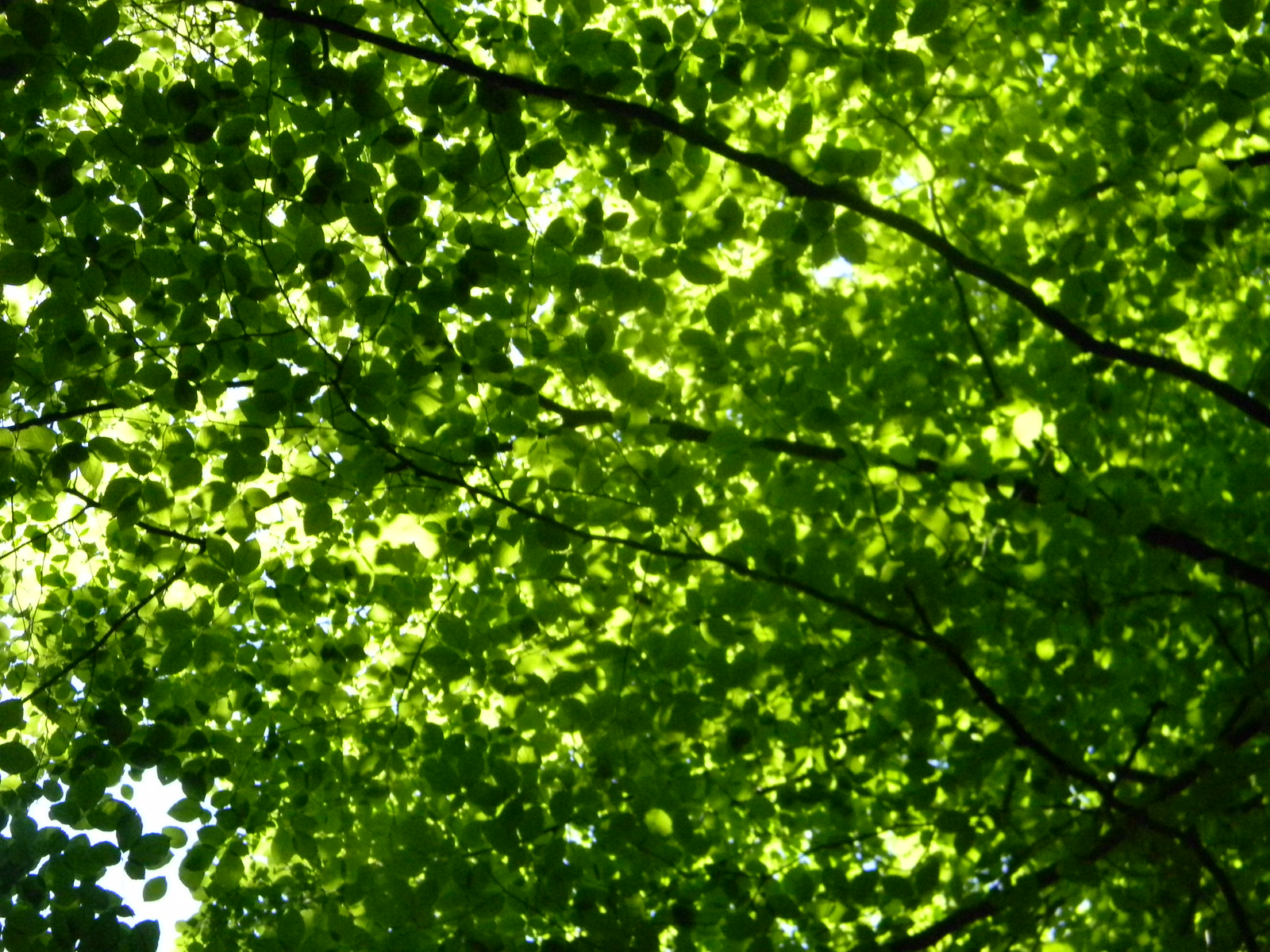 Leafiness Burnham Beeches, Gerrards Cross to Cookham