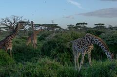 Tanzania-Masek-SafariDrive-48
