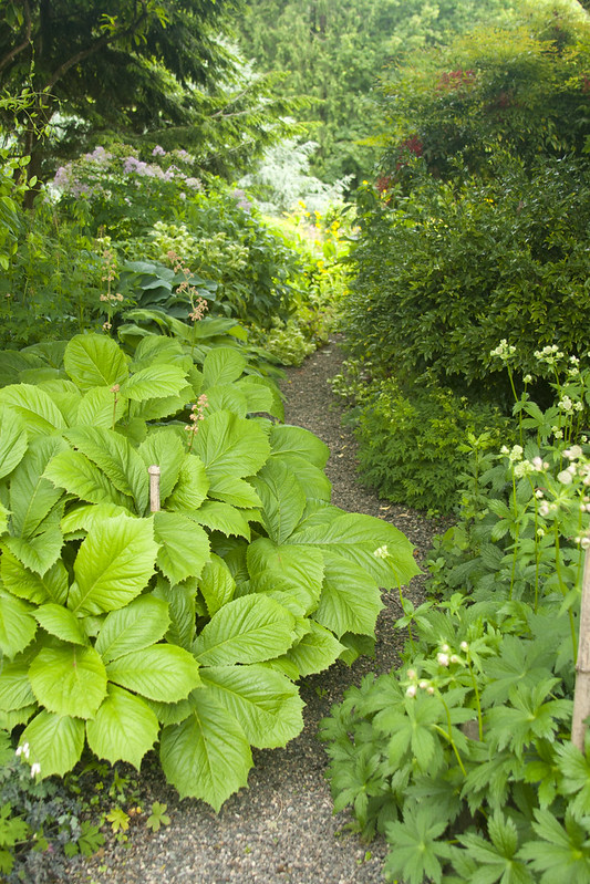 Rodgersia Path