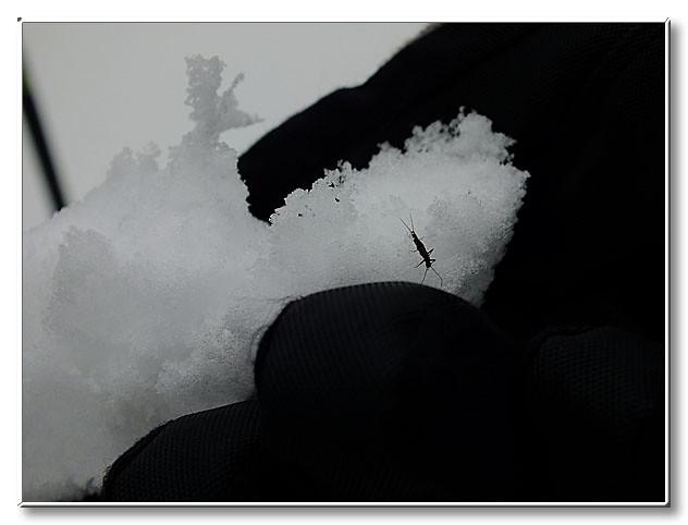 雪の上を歩き回るカワゲラの仲間.