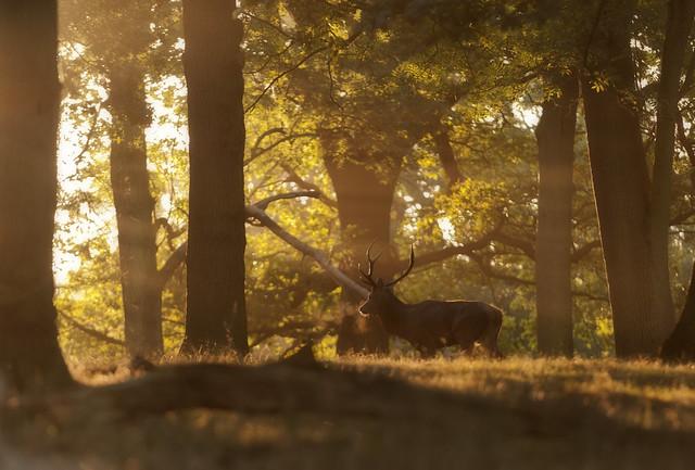 Deer in Woods III