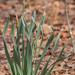 Forest Daffodil
