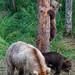 Grazer (128) & cubs