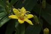 Photo:Tricyrtis perfoliata  キバナノツキヌキホトトギス By ashitaka-f studio k2