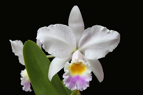 Cattleya trianae 'Pink gem'