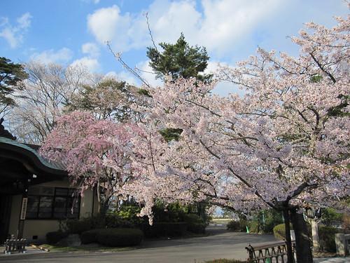 宮城県護国神社の桜・・・2013.4.22 by Poran111