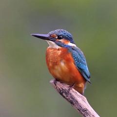 ✿ Martin-pêcheur (Alcedo atthis)  ✿