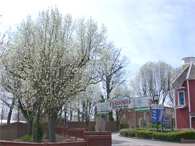 Bradford Pear tree in Holiday World