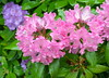 Wet rhodies