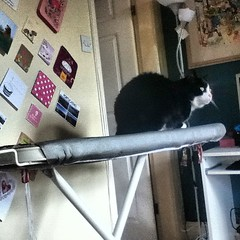 We have a volunteer for the ironing.... #ironingboard #imironingbored #usefulcat #cat #cute #housework