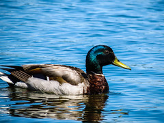 animal, water bird, duck, wing, water, fauna, mallard, beak, bird, wildlife,