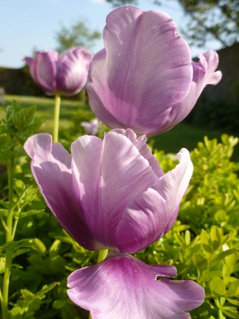 Tulips- in June!
