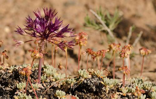 unitedstates nevada polygonaceae alliaceae alliumatrorubens eriogonumcaespitosum