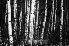 Trees of Beaver Creek