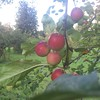 Orchard Girton #Cambridge - how do you like them #apples ? : #fruit #autumn #fall