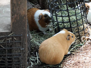 上野動物園モルモット