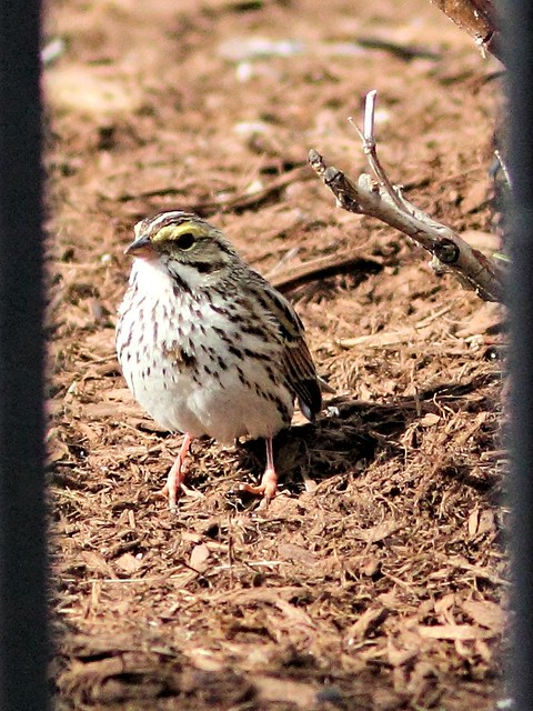 Savannah Sparrow 20130505