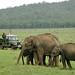 Asian Elephants, Nagarhole