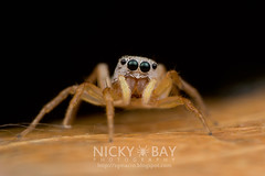Jumping Spider (Salticidae) - DSC_5453