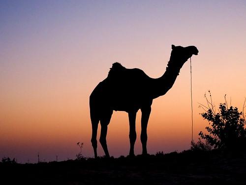 india safari camel indien jaisalmer rajasthan inde インド 印度 em10 thardesert 沙漠日出 olympusomd 砂漠の日の出