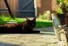 Schwarze Katze vor grünem Grund... by kaioettinger