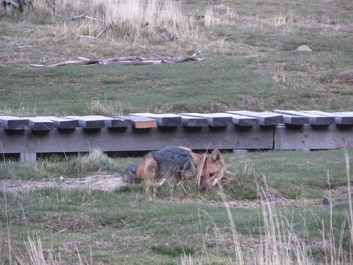 Torres del Paine: trek du W. Jour 3: un gentil renard s'aventure au camping Paine Grande