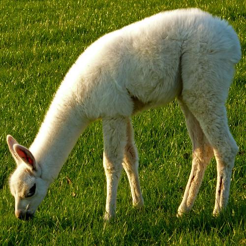 baby llama by pho-Tony