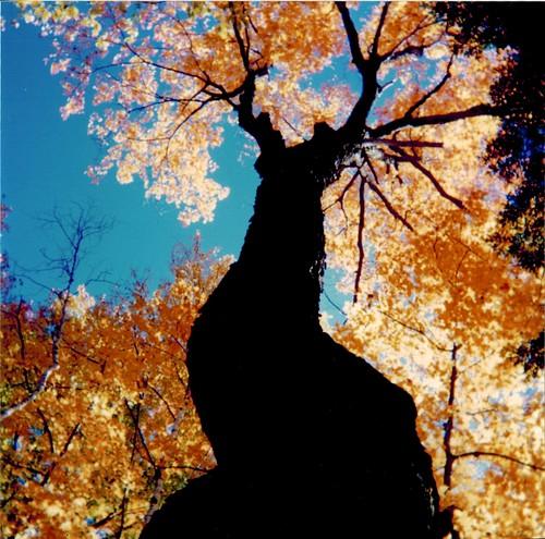 fall tree, 1994