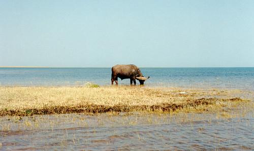 africa lake buffalo zimbabwe kariba
