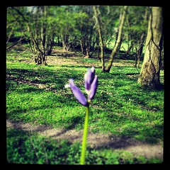 A bluebell in Epping Forest