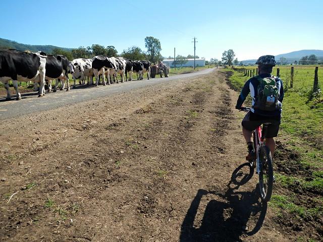 Dodging Cattle