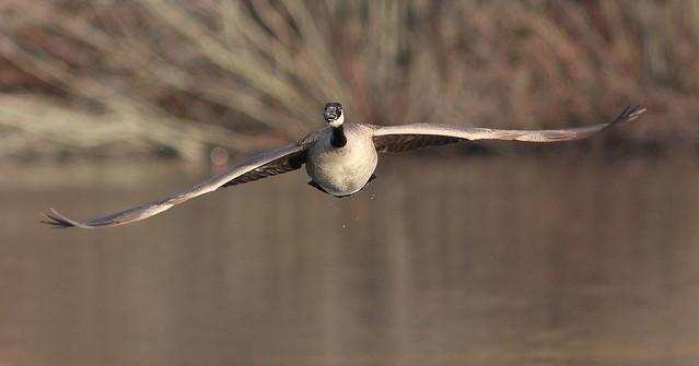 O Canada (Goose)