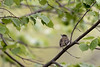 Least Flycatcher-41715.jpg