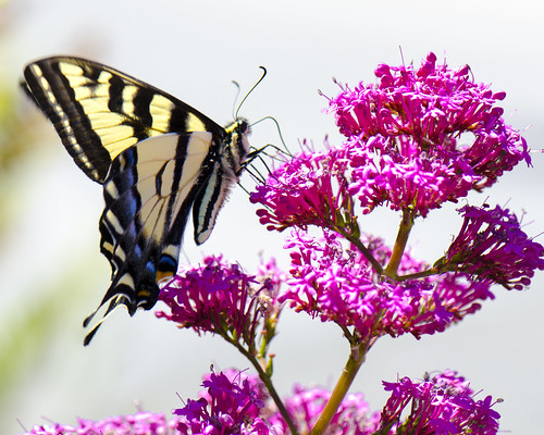 A Western Tiger Swallowtail in our garden this afternoon.