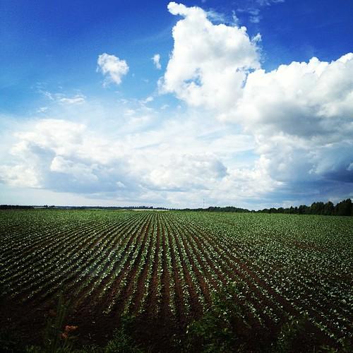 Ну, делайте ставки: что посадил за нашим окном совхоз Ручьи?:)