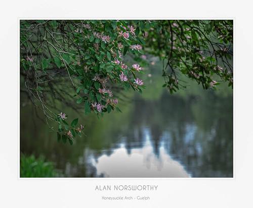 Honeysuckle Arch by Alan Norsworthy