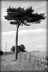 Newton Garth tree bw
