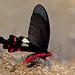 Byasa polyeuctes - the Common Windmill (male)