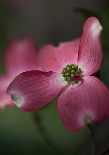 Flowering Dogwood EXPLORED by conniee4 aka Connie Etter